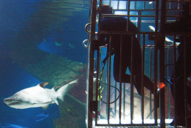 immersione gabbia con squali