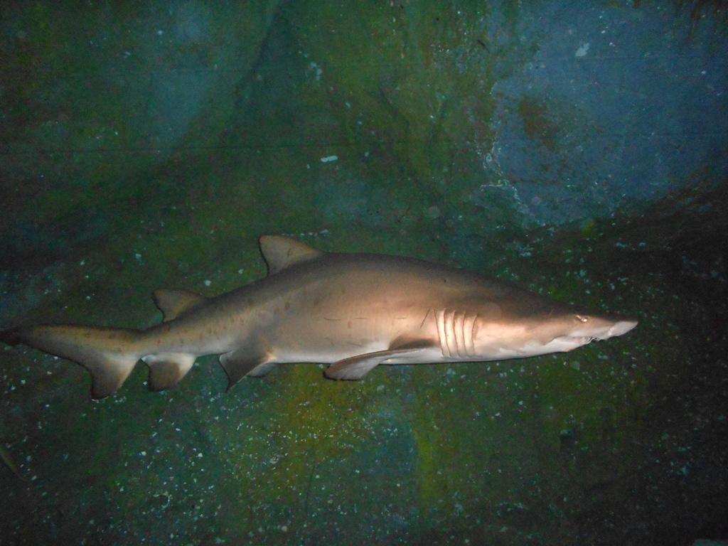 squali dubai
